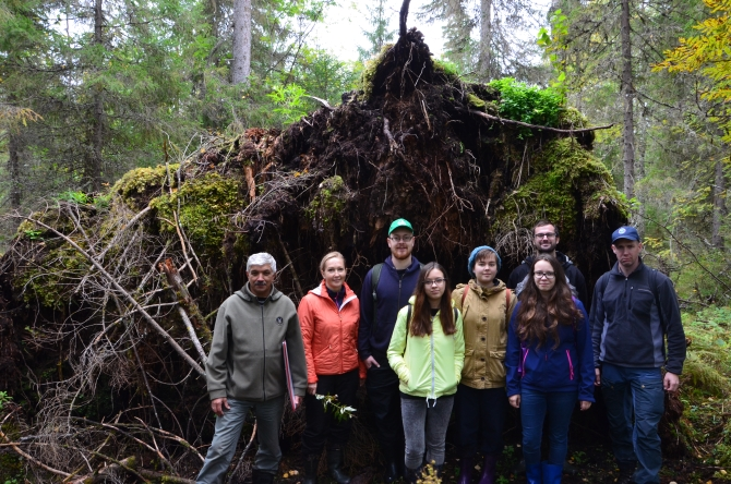 Old wind fallen spruce at the demonstration route for natural forest dynamics